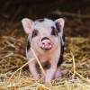 Ученые планируют выращивать органы для трансплантации в свиньях