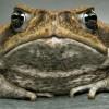 Австралийские биологи нашли эффективный способ контроля над численностью популяции ядовитых жаб Bufo marinus.