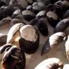 Распространение злокачественных заболеваний у песчаных моллюсков, обитающих у берегов Северной Америки, было замечено еще в 1970-х. Кровь их при этом делается густой и непрозрачной, как молоко: в ней опухолевые клетки быстро распространяются по всему организму.
