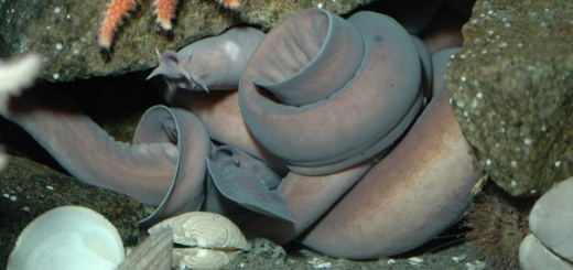 ДНК этой безобразной рыбы применяется для создания пуленепробиваемых костюмов
