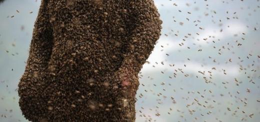 460 тысяч пчел на теле пчеловода