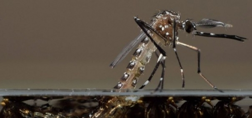 Генетически модифицированные самцы комаров, потомство которых погибает еще на стадии личинки, должны сократить местную популяцию кровососущих и снизить риск получить с их укусами одно из опасных заболеваний.